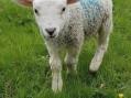 Stolen lamb number 13 is named Clover