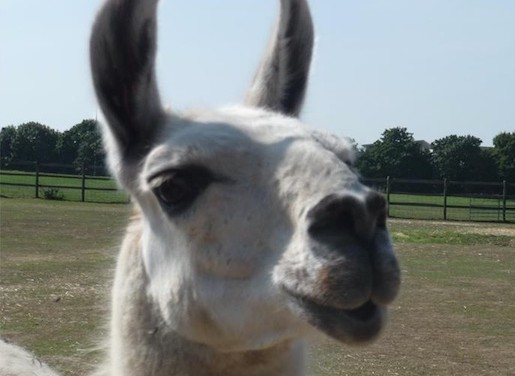 Sadness as much-loved Mark the Llama passes away