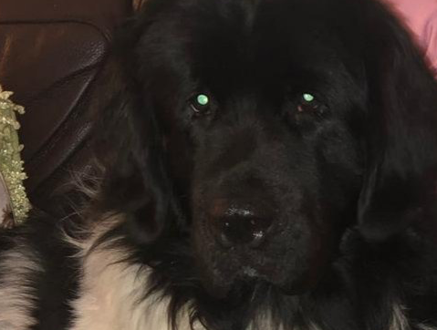 Large Newfoundland dog missing near Town Park