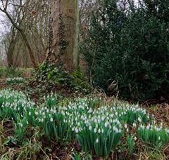 Snowdrop Sunday at the Gibberd Gardens