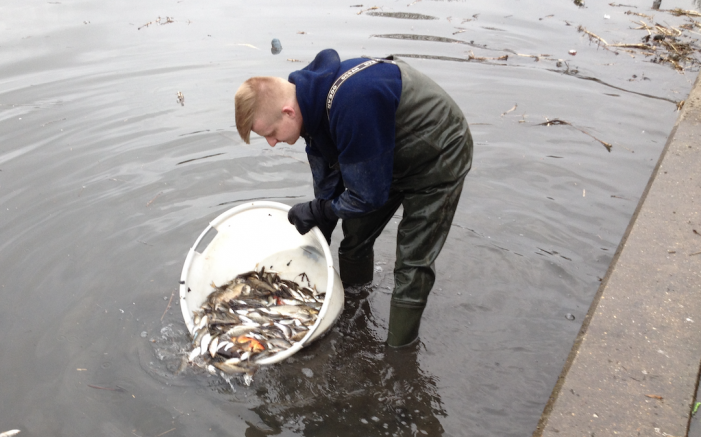 Fish being returned to Netteswell Pond