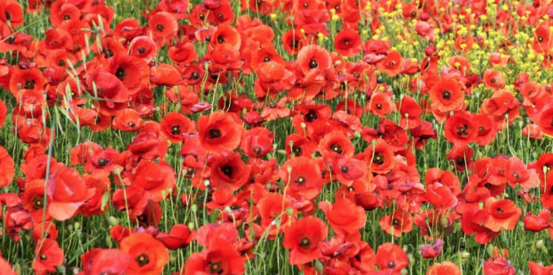 Could you knit a poppy?