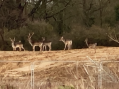 Concerns for welfare of deer in Newhall